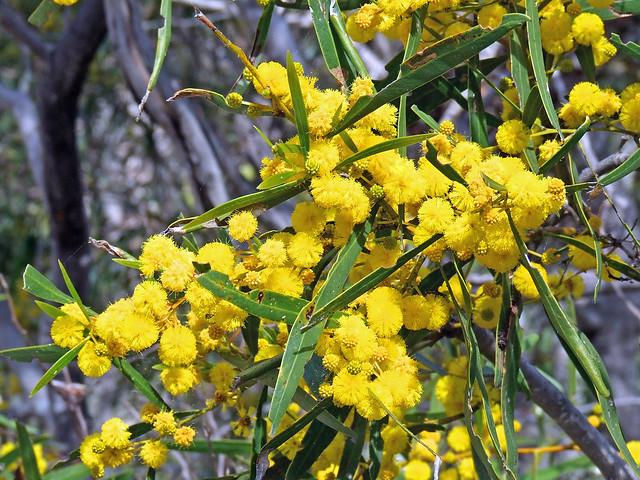 Acacia blakelyi- Blakely's Acacia