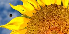 busy bee, busy bee.... (Ben McLeod) Tags: flower macro insect sb600 bluesky bee bumblebee sunflower sb800 105mmf28gvrmicro strobist nikonstunninggallery