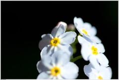 on a Row (Thger) Tags: white black flower macro yellow canonef100mmf28macrousm bildekritikk