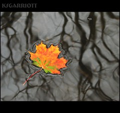 Maple-leaf-float2 (KSGarriott) Tags: autumn orange plant fall nature water norway canon river norge leaf maple mapleleaf float vegitation canonpowershots3is colourartaward artlegacy ksgarriott scottgarriott