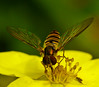 October fly (algo) Tags: macro sorry yellow topv111 closeup garden photography eyes topf50 bravo searchthebest topv1111 topv999 insects algo hoverfly magicdonkey 50f gtaggroup specanimal platinumphoto 200750plusfaves