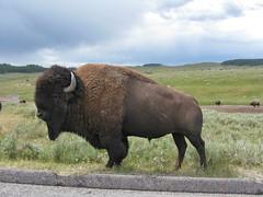 Male Bison (Travis S.) Tags: road male field nationalpark north yellowstonenationalpark yellowstone grasses wyoming plains bison bisonbison