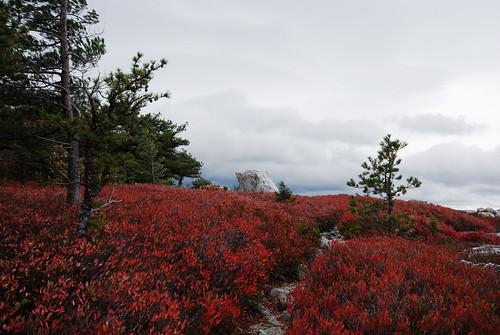 red fall fallfoliage shawangunks newpaltzny minnewaskastatepark blueberrybushes nikond60 shawangunkridge gertrudesnosetrail