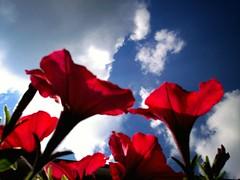 Red & Blue (Joke P.) Tags: flowers blue red sky flower clouds licht blauw wolken rood bloemen bloem