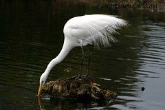 Great Egret Horizonal 1