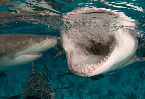 Оштри зуби у чељусти ајкуле (аутор WIlly Volk)