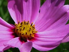 Bloom of the Day (floralgal) Tags: flowers nature gardens macros florals closeups picnik naturesfinest brillianteyejewel