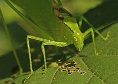 Katydid (Orthoptera Tettigoniidae 5x7) _emailable 7825