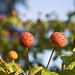 Trois fruits Kousa