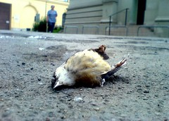 Dead bird (morten almqvist) Tags: bird dead ericsson sony w810i