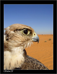 Arabian falcon (Salem_photos) Tags: detail macro bird up fly close desert hunting feather arab falcon arabian hunt                 arab  bedwien