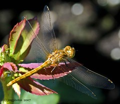 Resting On A Leaf (jimgspokane) Tags: wings dragonflies insects naturesfinest onlythebestare