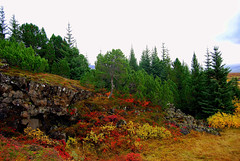 Autumn at Þingvellir (sylviatrausta) Tags: autumn trees red tree green yellow thingvellir Þingvellir