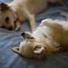 チワワ:sora & nami 1.5.09