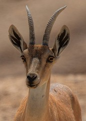ibex   (A   M) Tags: sea dead israel desert  masada judea  ibex