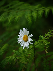 Ox-eye daisy (yvonnepay615) Tags: uk white flower macro green nature yellow woodland lumix woods forestry norfolk panasonic daisy g1 45mm eastanglia oxeyedaisy esenciadelanaturaleza