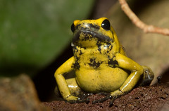 Phyllobates terribilis, the Golden Poison Frog