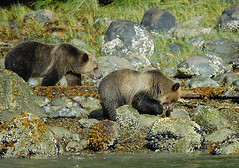 Grizzly Bear - Knight Inlet - British Columbia