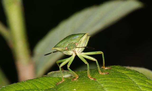 Palomena angulosa