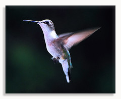 Ruby-throated Hummingbird (Dennis J2007) Tags: birds hummingbird birdsinflight hummingbirds rubythroatedhummingbird