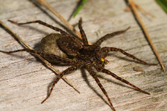 """Female Wolf Spider (Pardosa sp.) with(2) • <a style=""""font-size:0.8em;"""" href=""""http://www.flickr.com/photos/57024565@N00/598563622/"""" target=""""_blank"""">View on Flickr</a>"""