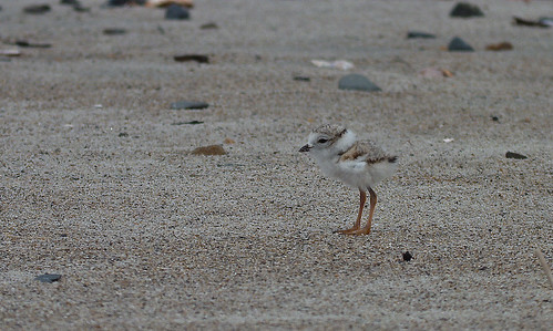 Snowy Plover Chick #1