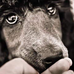 Toby's Limpid Pools (The Pack) Tags: toby puppy eyes poodle melt standard standardpoodle 60mmf28dmicro liquidsilver instantfave thepack:a=1