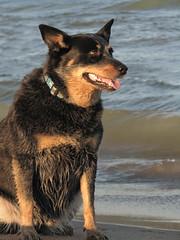Jasmine by the beach (radiant star) Tags: statepark dog beach wisconsin sand jasmine lakemichigan sheboygan acd blueheeler goldenlight kohlerandrae kohlerandraestatepark superbmasterpiece acustraliancattledog 1on1petsphotooftheweek 1on1petsphotooftheweekjuly2007