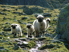 Swiss Sheep (puffin11uk) Tags: switzerland sheep lambs valais hauteroute 50club puffin11uk valaisblacknose walliserschwarznasenschaf valaisianblacknosesheep