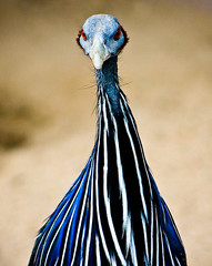 Don't I Look Friendly? (tappit_01) Tags: bird bald guineafowl vulturineguineafowl vulturine animalkingdomelite superbmasterpiece wowiekazowie