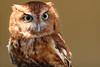 Otus - Eastern Screech Owl 2 (animefx) Tags: camera summer color colour bird 20d animal digital eos zoo illinois feathers july sharp explore latin springfield dslr f28 own orly owls birdsofprey birdofprey 2007 plumage otus easternscreechowl megascopsasio hensonrobinsonzoo 85mm18 sangamoncounty redphase interestingness48 i500 ef85mmf18usm canonef85mmf18usm tacksharp specanimal otuseasternscreechowl2 explore20070721