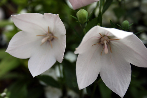Balloon Flower - White