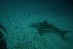 Small One (Mshai) Tags: ocean water danger canon eos shark dangerous 300d underwater canon300d pointer wildlife australia scuba killer fox jaws sharks hunter neptune breaching greatwhites