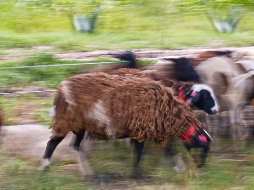 Sheep 9