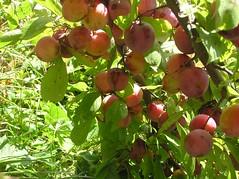 my plum crop