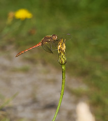"Common Darter Dragonfly (Sympetrum s(60) • <a style=""font-size:0.8em;"" href=""http://www.flickr.com/photos/57024565@N00/1364775755/"" target=""_blank"">View on Flickr</a>"