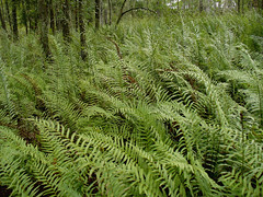 Lake of Ferns (Barefoot In Florida) Tags: landscape florida ferns brookercreekpreserve