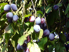 Picking Plums with the Heinrich Family