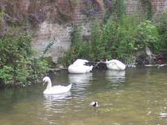 Swans (crwilliams) Tags: salisbury wiltshire date:year=2007 date:month=june date:day=19 date:wday=tuesday date:hour=11
