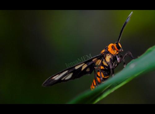 lebah2