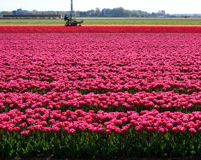 Flowers of The Netherlands