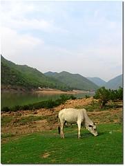 Holy... ($udhakar) Tags: animal canon cow a520 powershot andhra hpc andhrapradesh canonpowershota520 godavari papikondalu khammamdistrict wwwsudhakarcom