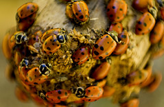 hippodamia convergens (converging). (Isabel Dresler Photography) Tags: red motion color macro canon bug insect natural spots ladybug