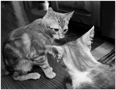 scary stuff... (Mr. Greenjeans) Tags: blackandwhite cats play tabby kittens lenny kitties squiggy 10mm hff canonefs1022mmf3545usm mrgreenjeans gaylon rescuedpet gaylonkeeling
