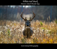 The Buck Stops Here! (Boreal Photography) Tags: nature wildlife deer buck thunderbay boreal whitetaildeer