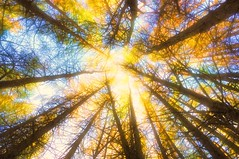 Looking Up (Semi-detached) Tags: autumn trees light sun mountain pine forest nikon warm glow ben wideangle dappled trossachs aan stirlingshire callendar semidetached d300