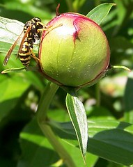 Bee and the Bud (ninayak- Away on Fridays) Tags: red fab green nature fun leaf spring bee bud soe excellence naturesfinest supershot flickrsbest abigfave impressedbeauty wowiekazowie flickrdiamond ysplix searchandreward