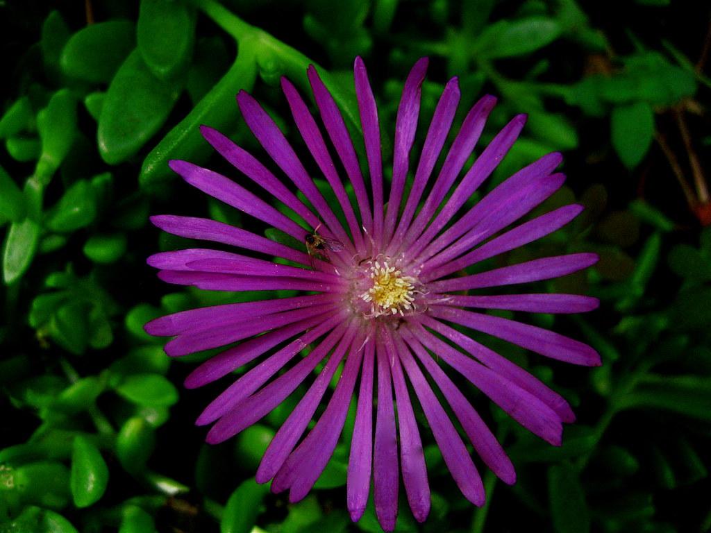 """Ice Plant"" (Delosperma cooperi)"