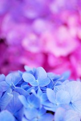 Girly Colors (*Sakura*) Tags: pink blue flower macro japan purple explore sakura hydrangea earlysummer    abigfave