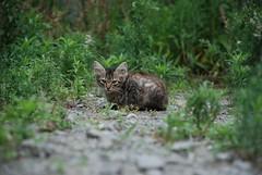 Where will life take me if you don't (amirjina) Tags: wild abandoned japan cat nikon kitten bokeh tabby amir   boke vis shizuoka jina numazu     d80 amirjina